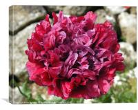 Crimson Poppy, Canvas Print