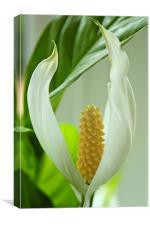 Spathiphyllum cochlearispathum, Canvas Print