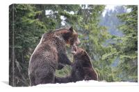 NA Grizzly Bears at Play, Canvas Print