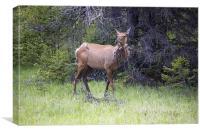 Canadian Elk, Canvas Print