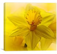 Daffodil, the harbinger of Spring, Canvas Print