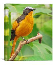 The Orange Beauty - White Crowned Robin, Canvas Print
