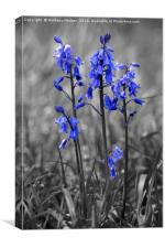 Bluebell Heads, Canvas Print