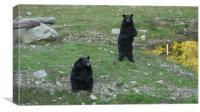 Lovely Black Bear, Canvas Print