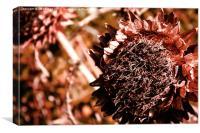 Dried Sunflower Head, Canvas Print