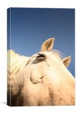 Horse close up, Canvas Print