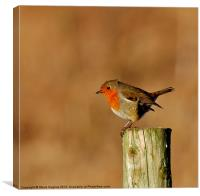 Resting Robin (Erithacus rubecula), Canvas Print