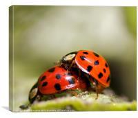 Ladybird Love Bugs, Canvas Print