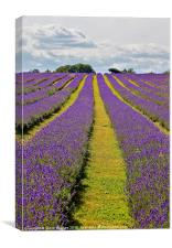 Mayfield Lavender Fields Surrey, Canvas Print