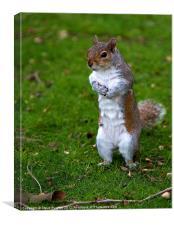 Grey Squirrel begging for food, Canvas Print