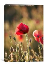 Poppy Standing Proud, Canvas Print