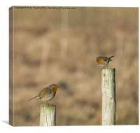 Two Perched (Erithacus rubecula), Canvas Print