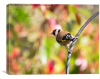 Perched Goldfinch (Carduelis carduelis), Canvas Print