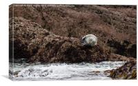 Atlantic Grey Seal on Caldey Island, Canvas Print