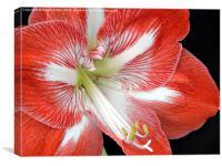 Amaryllis Closeup Semi-Oblique, Canvas Print