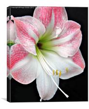 White & Pink Amaryllis, Canvas Print