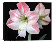 White & Pink Amaryllis (2), Canvas Print