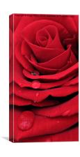 Red Rose Vertical, Canvas Print
