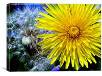 Dandelions Old & New, Canvas Print