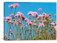 Cornish Pink Thrift, Canvas Print
