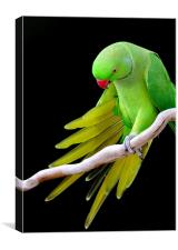 Indian Ringneck Parrot - Male, Canvas Print