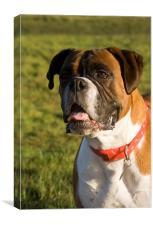 Boxer Dog, Canvas Print