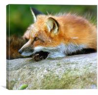 Fox Portrait, Canvas Print