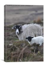 Mother & baby sheep, Canvas Print