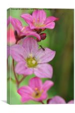 Ant on pink flower, Canvas Print