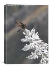 Giant Hummingbird Peru, Canvas Print