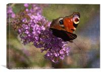 Peacock on Buddleia, Canvas Print