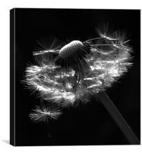 Dandelion Seed Head, Canvas Print