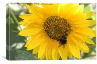 Pollinating a sunflower, Canvas Print