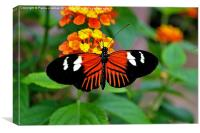 Postman Butterfly, Canvas Print