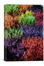 Colourfull Heathers, Canvas Print