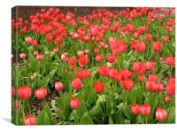 Outdoor Display of Red Tulips, Canvas Print
