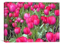 Lots and Lots of Pink Tulips, Canvas Print