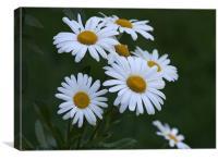 Daisys, Canvas Print
