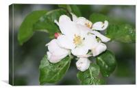 Cherry Blossom Flower, Canvas Print