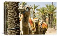 Camel Queue., Canvas Print
