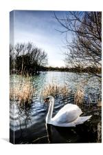The Peaceful Swan, Canvas Print