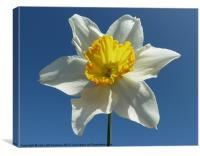 White and Yellow Narcissus Daffodil, Canvas Print
