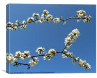 Blackthorn Blossom, Canvas Print