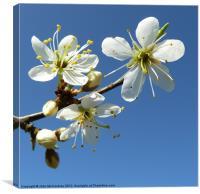 White Spring Blossom, Canvas Print