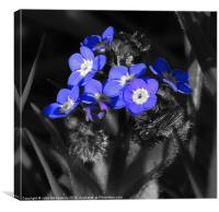 Forget-Me-Not Flower, Canvas Print