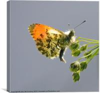 Orange-Tip Butterfly, Canvas Print