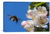 Apple Blossom and a Bee, Canvas Print