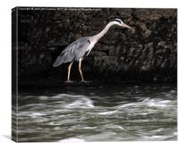 Suir River Heron, Canvas Print