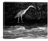 Black and White Grey Heron, Canvas Print