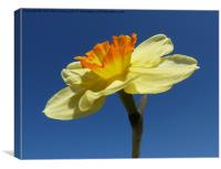 Narcissus Daffodil in Landscape Format, Canvas Print